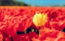 Tulpe Symbolbild eigene Stelle